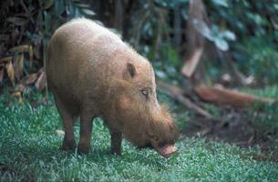 bebaarde varken foto