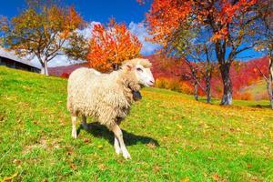 witte schapen op de weide in de bergen foto