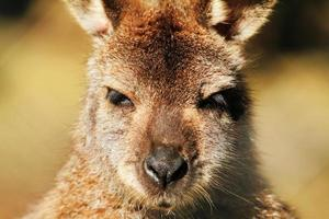 kangoeroe foto