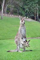 schattige baby kangoeroe joey in etui foto