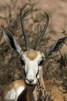 springbok dichte omhooggaand, kgalagadi transfontierpark, Zuid-Afrika. foto