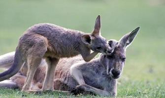 kangoeroes foto