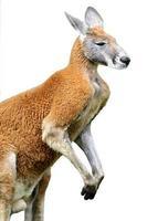 geïsoleerde rode kangoeroe foto