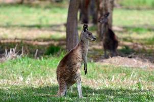 twee oostelijke grijze kangoeroe foto