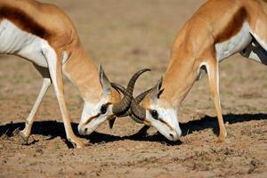 het bestrijden van springbokantilopen foto