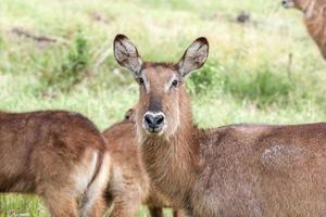 antilopen op een achtergrond van gras foto