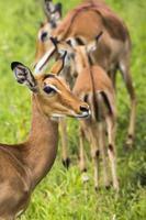 vrouwelijke impala antilopen in maasai mara national reserve, kenia. foto