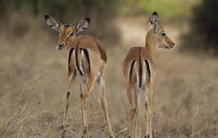 thomson gazelles in nationaal park nairobi foto