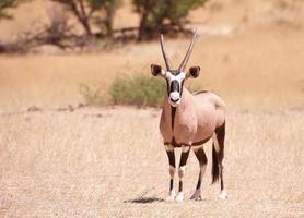 enkele gemsbok (oryx gazella) foto