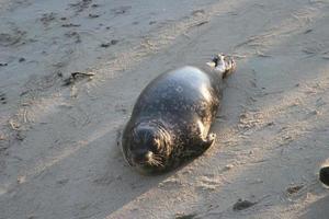 gewone zeehonden op het strand foto