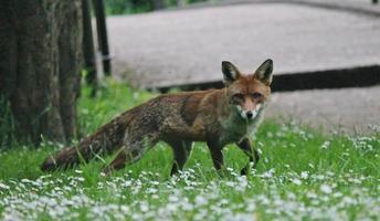 alert wilde rode vos kijkt naar de camera