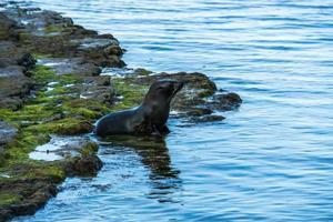 zeehond komt in het water foto