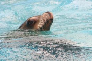gewone zeehond (phoca vitulina) foto