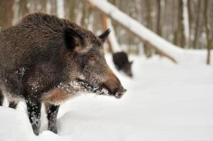 everzwijn in winter forest foto