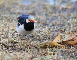 Aziatische bonte spreeuw, sturnus contra foto