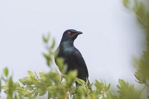 zwartbuikige glanzende spreeuw foto
