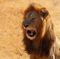 leeuw praten foto