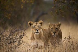 een paar leeuwinnen foto