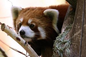 rode panda foto