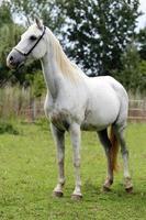 het witte gekleurde rasechte paard die zich in de zomer bevinden drijft landelijk bijeen