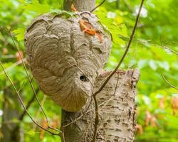 kale hoornaars bijenkorf foto