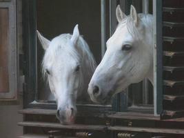toon paarden in schuur, Wenen foto