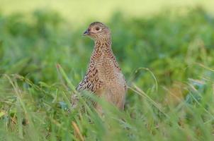 vrouwelijke fazant foto