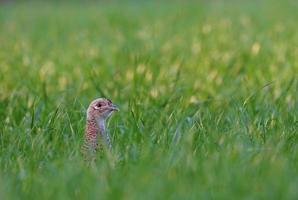 vrouwelijke fazant in een gras foto