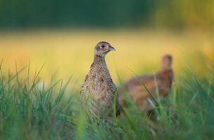 wilde vrouwelijke fazant foto