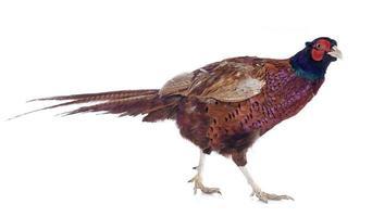 mannelijke Europese fazant foto