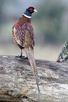 gewone fazant, phasianus colchicus foto