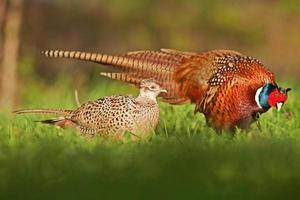 man een vrouwelijke fazant foto