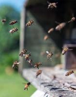 bijen tijdens de vlucht in de buurt van bijenkorf foto