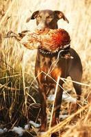 fazant en hond foto