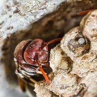 wesp in het nest foto