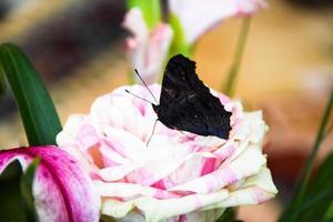 de Europese pauwvlinder op roos foto