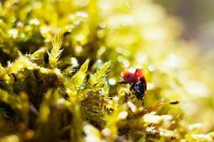 lieveheersbeestje op gras foto