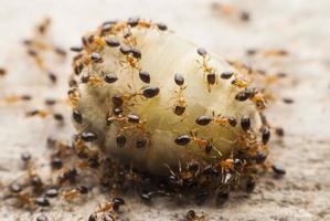 mier met voedsel