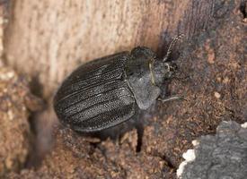 peltis grossa, trogossitidae op hout foto