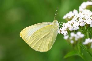 vlinder pieris rapae foto