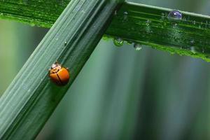 lieveheersbeestje dat op blad van groen gras loopt foto