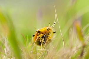 lieveheersbeestje in de natuur foto