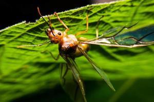 koningin mier in de natuur foto