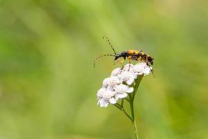 natuurlijke gevlekte boktor (rutpela maculata / strangalia maculata) op witte bloesem foto
