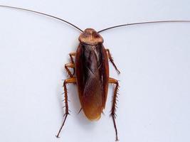 kakkerlak foto