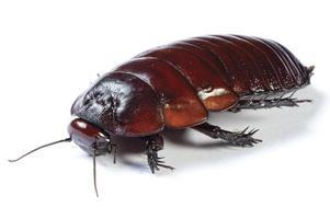 Australische gigantische gravende kakkerlak op witte achtergrond