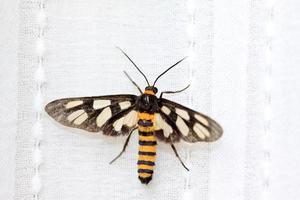 mot insecten foto