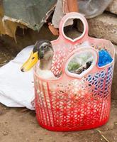 eend gekocht voor consumptie op een Vietnamese markt foto