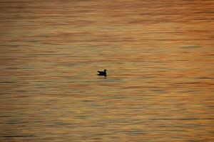 eend, zeewater foto