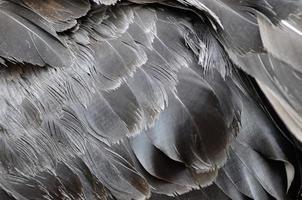 zwarte zwaanveren foto